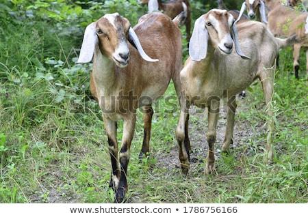 Nubian goats in Spring Stock photo © nailiaschwarz