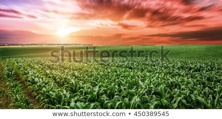 Maíz plantación puesta de sol plantas creciente Foto stock © stevanovicigor