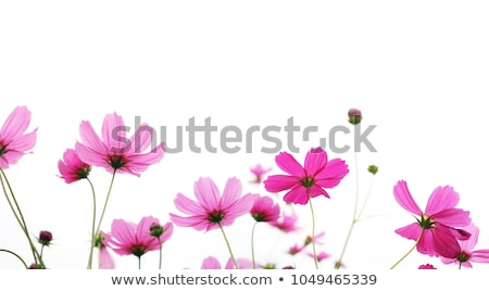 Pink flowers cosmos bloom beautifully stock photo © maya2008