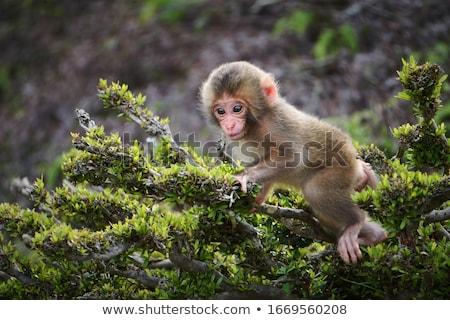 Japanese macaque and baby, Iwatayama monkey park, Kyoto, Japan Stock photo © daboost