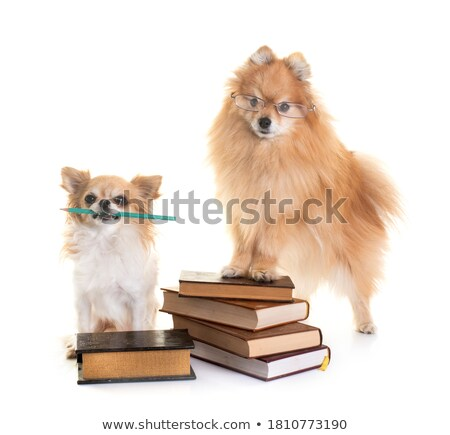 Stock photo: pomeranian spitz, chihuahua and books