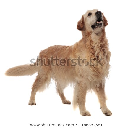 agressive golden retriever standing and looking up to side Stock photo © feedough