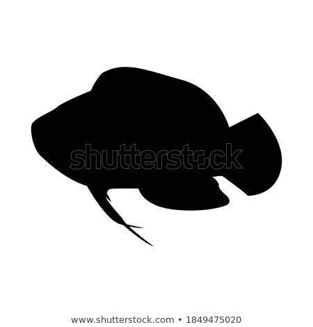 blue striped tamarin wrasse vector illustration stock photo © robuart