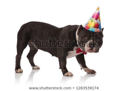 side view of birthday american bully with red bowtie standing stock photo © feedough