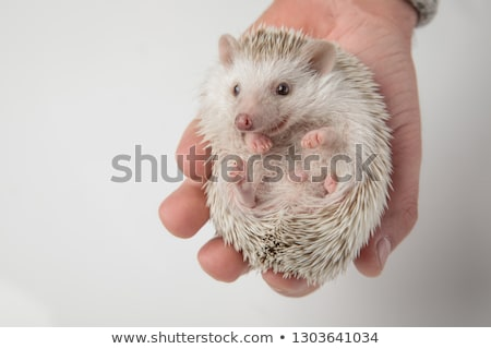adorabel african dwarf hedgehog relaxing in hand looks to side Stock photo © feedough