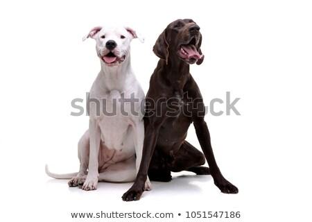Studio shot of an adorable  Dogo Argentino and a deutsch kurzhaar Stock photo © vauvau