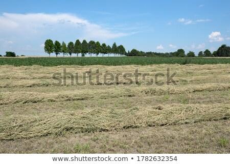 Trifoglio campo raccolto impianto alberi soia Foto d'archivio © simazoran