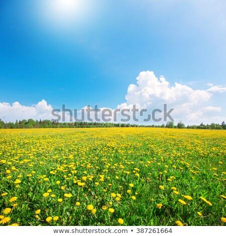 Dandelion field over blue sky Stock photo © johnnychaos