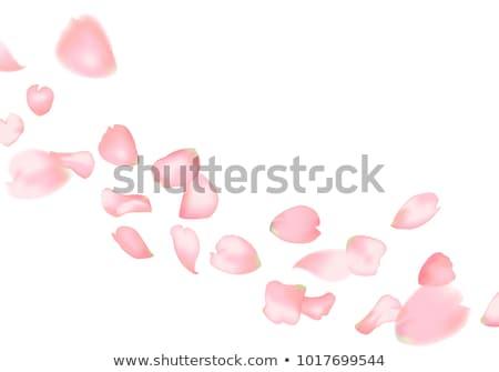 Pink rose petals Stock photo © elenaphoto