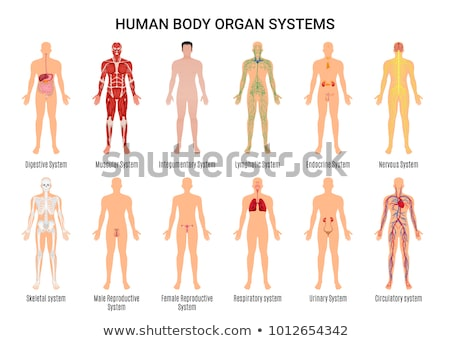 Zdjęcia stock: Human Body With Heart For Medical Study