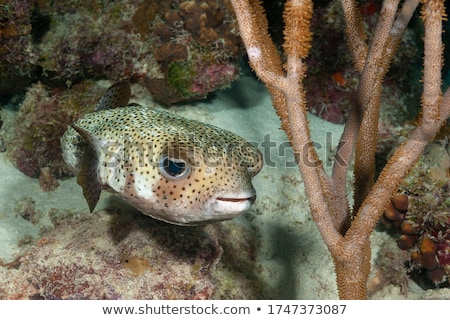 Porcupinefish Stock photo © Laracca