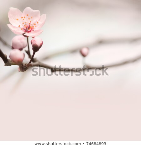 spring header with pink buds stock photo © lithian