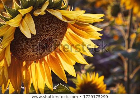 большой подсолнечника цветок солнце фон лет Сток-фото © Galyna