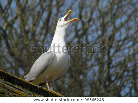 gaviota · techo · superior · aves · animales · azulejo - foto stock © latent