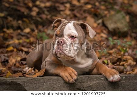 Американский бульдог белый щенков сильный бульдог коричневый Сток-фото © eriklam