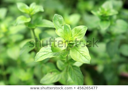 oregano closeup stock photo © masha