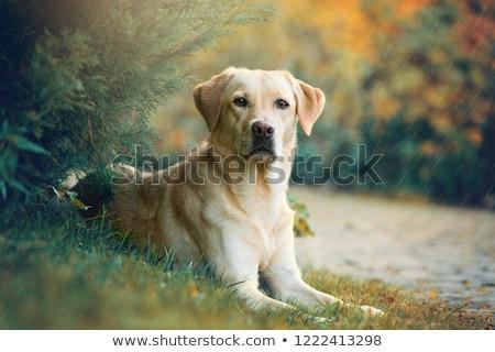 Labrador retriever gyönyörű kutyafajta labrador ül izolált Stock fotó © iko