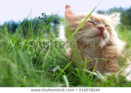 Foto stock: Gato · verão · grama · mentiras