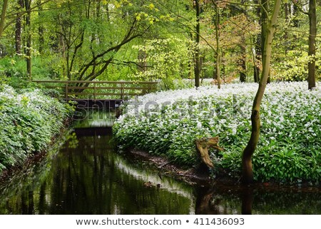 WILD GARLIC (ALLIUM URSINUM) Stock photo © samsem