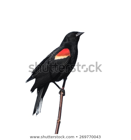 Red Winged Blackbird in a Marsh Stock photo © rhamm