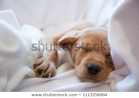 puppy bedtime Stock photo © willeecole