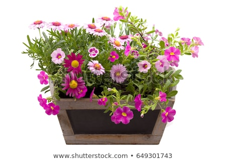 purple flower pot Stock photo © smithore