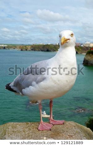 чайка птица Корнуолл морем животного Сток-фото © latent