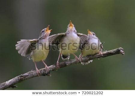 pássaro · cantando · pequeno · potável · sessão · borda - foto stock © Gordo25