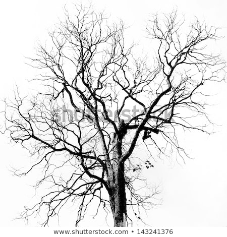 bare trees in black and white Stock photo © alptraum