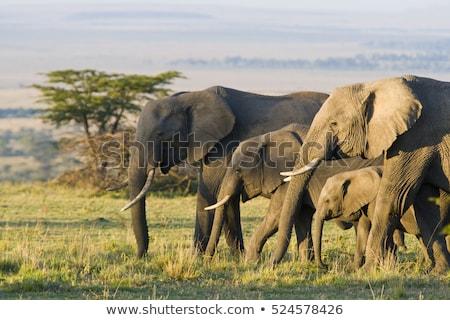 elefánt · sétál · mező · erdő · természet · utazás - stock fotó © saddako2