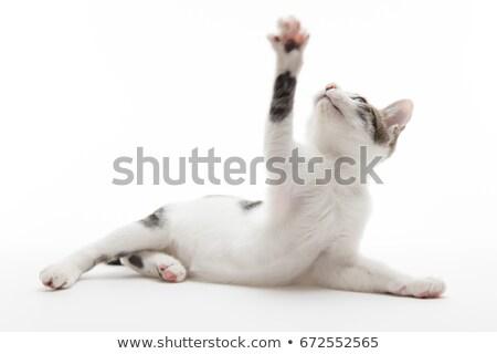 Kabarık gri kedi yavrusu pençe çok güzel Stok fotoğraf © dnsphotography