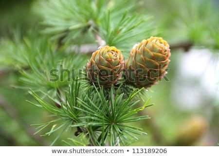 Pino jóvenes primer plano naturales atención selectiva árbol Foto stock © zhekos