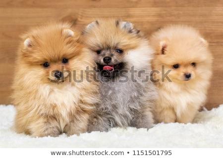 pequeño · funny · perro · fondo · jóvenes · estudio - foto stock © Nejron