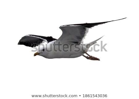 Young gull in flight  Stock photo © sarahdoow
