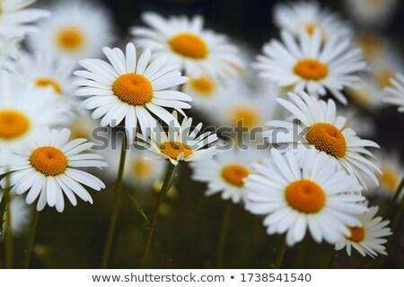 White daisy or Leucanthemum vulgare Stock photo © sweetcrisis