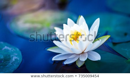 Yellow lotus blossoms or water lily flowers blooming on pond Stock photo © FrameAngel