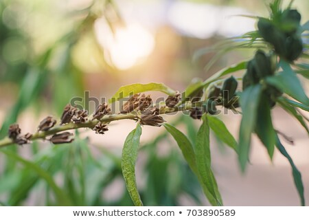 Zwarte sesam plant natuur groeiend bloem Stockfoto © supersaiyan3