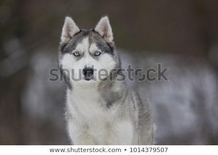 Boğuk köpek portre siyah beyaz gökyüzü Stok fotoğraf © Elenarts