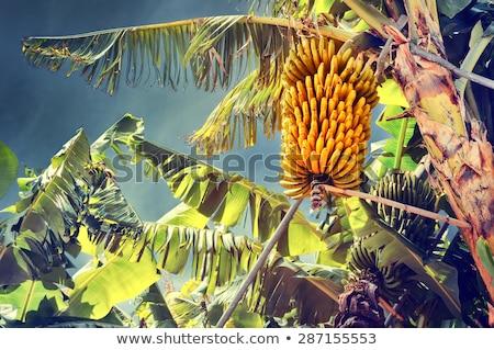Banana plantação sol comida floresta natureza Foto stock © Mikko