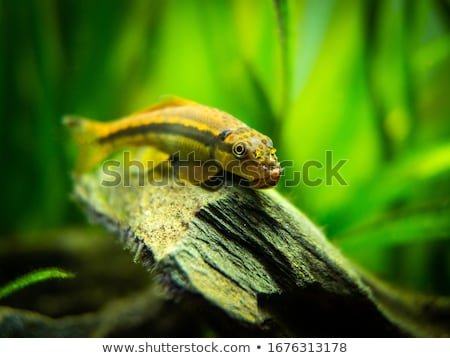 Catfish and algae Stock photo © sahua