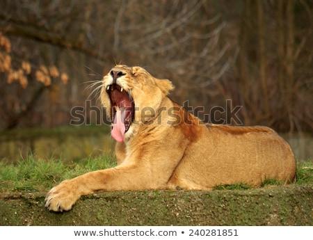 зубов · языком · лев · женщины - Сток-фото © jfjacobsz
