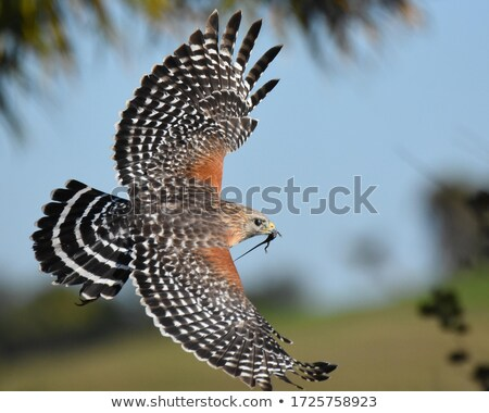 Red Shouldered Hawk Stock photo © jillyafah