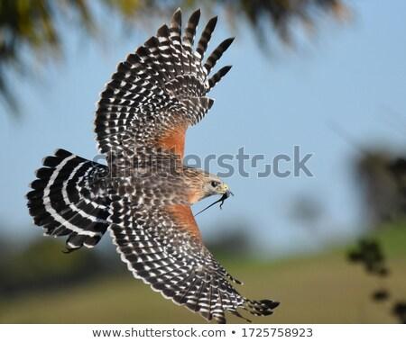 falcão · retrato · natureza · olho · beleza - foto stock © jillyafah