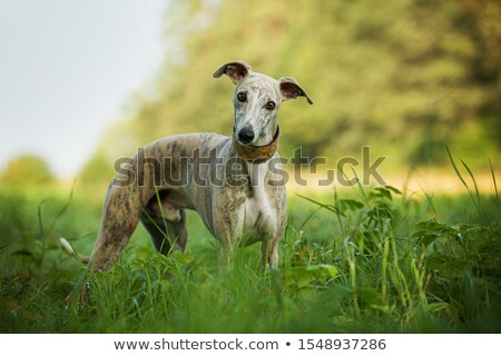 画像 · 美しい · 犬 · 白 · 自然 · 立って - ストックフォト © magann