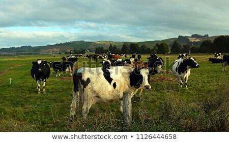 Freisian dairy cows Stock photo © EcoPic