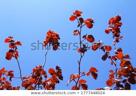 Levelek mogyoró fa piros szín kék ég Stock fotó © meinzahn