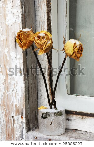 three red dry roses on window in winter stock photo © olykaynen