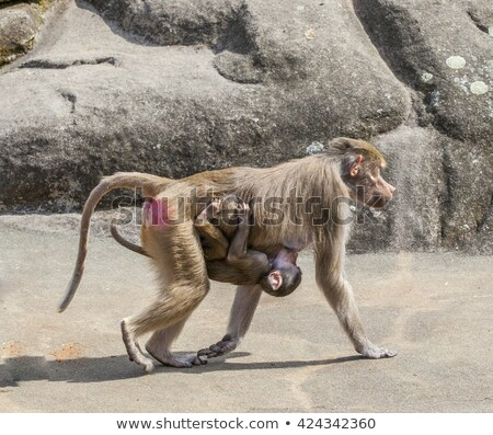 baboon carrying his child  Stock photo © meinzahn