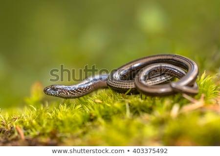 Devagar verme cego snakes comida praga Foto stock © artush