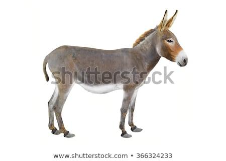 donkey on white background Stock photo © Istanbul2009